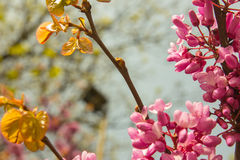 Blossoming Cercis siliquastrum plant Stock Photos