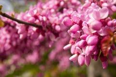Blossoming Cercis siliquastrum plant Stock Image