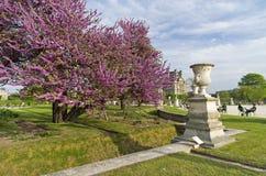 Blossoming Cercis Siliquastrum (Judas tree). Stock Image