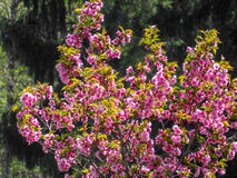 Blossoming Cercis tree. On a wood glade Royalty Free Stock Images