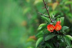Blossoming Chaenomeles (цветя айва, японская айва) сверх Стоковая Фотография