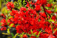 Blossoming Chaenomeles flowering quince, Japanese quince, a genus of spiny shrubs, native to eastern Asia. Blossoming Chaenomeles flowering quince, Japanese stock photography