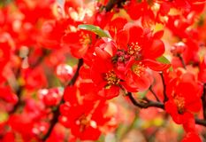Blossoming Chaenomeles flowering quince, Japanese quince, a genus of spiny shrubs, native to eastern Asia. Blossoming Chaenomeles flowering quince, Japanese royalty free stock image
