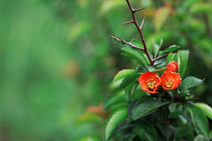 Blossoming Chaenomeles (flowering quince, Japanese quince)  over. Japan garden. Blossoming Chaenomeles (flowering quince, Japanese quince Stock Photography