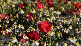 Blossoming chamomiles and red poppies on sunny day stock video footage