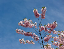 Blossoming cherry Royalty Free Stock Photos