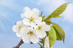 Blossoming cherry Stock Photos