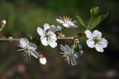 Blossoming cherry. Blossoming branch of a cherry Stock Photography