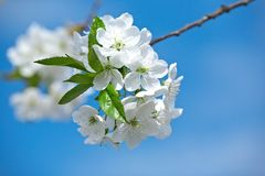Blossoming cherry against blue sky Royalty Free Stock Photography