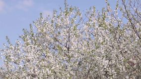 Blossoming cherry against the blue sky background stock video