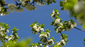 Blossoming cherry against the blue sky. Branches of a blossoming cherry against a blue sky stock video footage