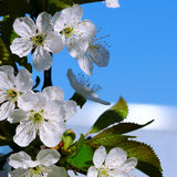 Blossoming cherry against the blue sky. Focus on the foreground. Royalty Free Stock Images