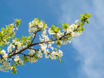 Blossoming cherry branch Royalty Free Stock Photography