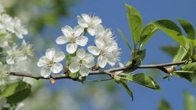 Blossoming cherry branch against blue sky. In springtime stock footage