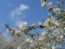 The blossoming cherry. Royalty Free Stock Image