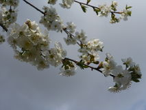 The blossoming cherry. Royalty Free Stock Images