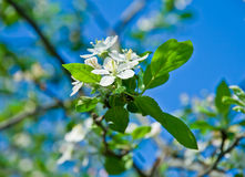 Blossoming cherry branch in april Royalty Free Stock Photography