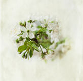 Blossoming cherry branch Stock Images