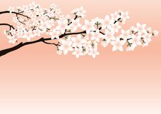 Blossoming cherry branch. Blossoming cherry branch on a pink background Royalty Free Stock Photos
