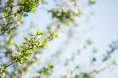 Blossoming cherry branch in garden. Blossoming cherry branch on blue background Stock Photos