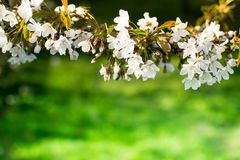Blossoming cherry branch on a green background. Sunny spring. Blossoming cherry branch on a green background. Sunny spring Stock Images