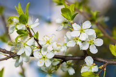 Blossoming Cherry Branch With Green Leaves. Stock Images