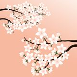 Blossoming cherry branch. Blossoming cherry branch on a pink background Stock Photos