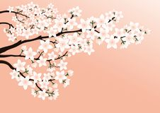 Blossoming cherry branch. Blossoming cherry branch on a pink background Stock Photography