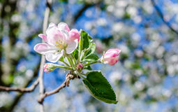 Blossoming cherry branch Royalty Free Stock Image