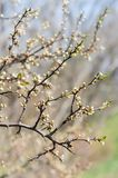 Blossoming cherry branch Royalty Free Stock Photos