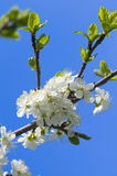Blossoming cherry branch with white flowers Royalty Free Stock Photos