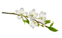 Blossoming cherry branch with white flowers. Royalty Free Stock Image