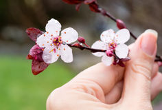 Blossoming cherry branch Stock Photos