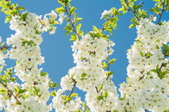 Blossoming cherry branches. Against the blue sky Stock Image