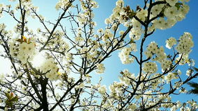 Blossoming cherry branches. Cherry Blossoms in the spring, and blue sky in the background stock footage