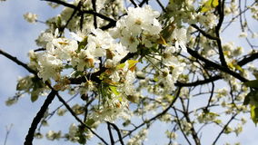 Blossoming cherry branches. The branch of blossoming cherry sways in the wind stock footage