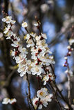 Blossoming Cherry Branches In Early Spring. On blue sky background Stock Photos