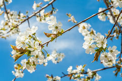 Blossoming cherry branches in the sun. Against a blue sky royalty free stock photos