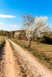 Blossoming cherry on a country road in the Czech countryside. Wild cherry tree in spring. Spring day in the countryside.  stock photo