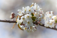 Blossoming cherry Royalty Free Stock Images