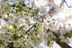 Blossoming cherry flowers Stock Photos