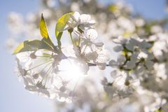 Blossoming cherry flowers Stock Photo