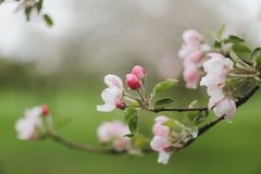 Blossoming of cherry flowers with green leaves. Branches of a tree in spring season. Wallpaper, spring background royalty free stock photo