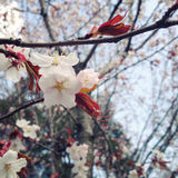 Blossoming cherry flowers in spring. Aged photo. Royalty Free Stock Image