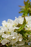 Blossoming of cherry flowers Royalty Free Stock Photography