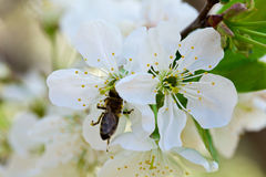 Blossoming of cherry flowers Royalty Free Stock Photo