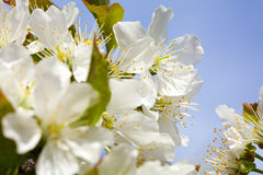 Blossoming of cherry flowers Stock Photo