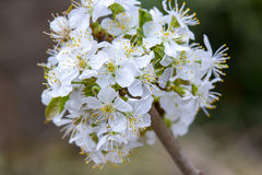Blossoming of cherry flowers in spring time Stock Image