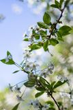 Blossoming of cherry flowers in spring time with green leaves, macro, frame royalty free stock photo