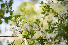 Blossoming of cherry flowers in spring time with green leaves, macro, frame stock photos